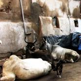 Cattle Ahmedabad